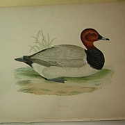 Beverly Morris British Game Birds Pochard Duck 1855