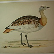Beverly Morris British Game Birds Great Bustard 1855