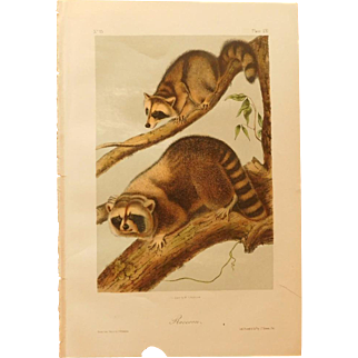 Rare Audubon Antique Stone Lithograph Print 1851 Raccoon Plate LXI