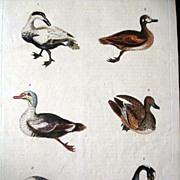 William Martyn Natural History Engraving Ducks 1785
