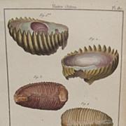 Lamarck shell engraving  Coquille Bivalve Pl. 187