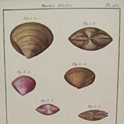 Lamarck shell engraving Coquille bivalve