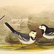 John Gould Lithograph Pied Wagtail Antique Print 1862