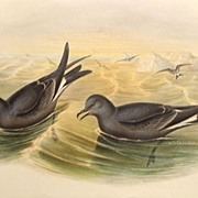 John Gould Fork Tailed Storm Petrel Lithograph Antique Bird Print 1864