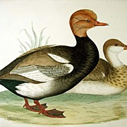Morris British Game Birds Red Crested Whistling Duck