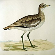 Beverly Morris British Game Birds Great Plover 1855