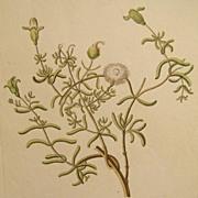 Rare Knorr Folio Antique Botanical Print Ice Plant 1760