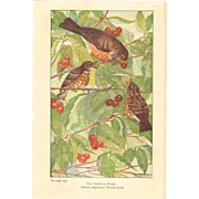 Nellie Pairpoint Color Print - American Robins
