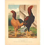Cassell's Poultry Print - Malay Chickens
