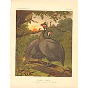 Cassell's Poultry Print - Guinea Fowls