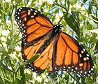 Apricot Butterflies