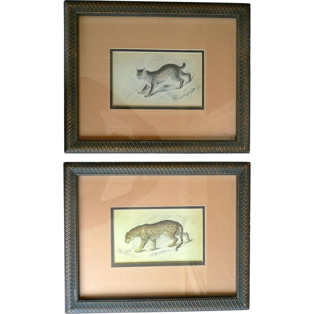 Vintage Lithograph (2) Prints of an American Exotic Wild Cats