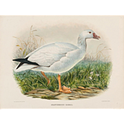 "DANIEL GIRARD ELLIOT (American, 1830-1907) - Antique Hand-Colored Lithograph ""Exanthemops Rossii"" from The New and Heretofore Unfigured Species of the Birds of North America Circa 1869"
