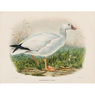 """DANIEL GIRARD ELLIOT (American, 1830-1907) - Antique Hand-Colored Lithograph """"Exanthemops Rossii"""" from The New and Heretofore Unfigured Species of the Birds of North America Circa 1869"""
