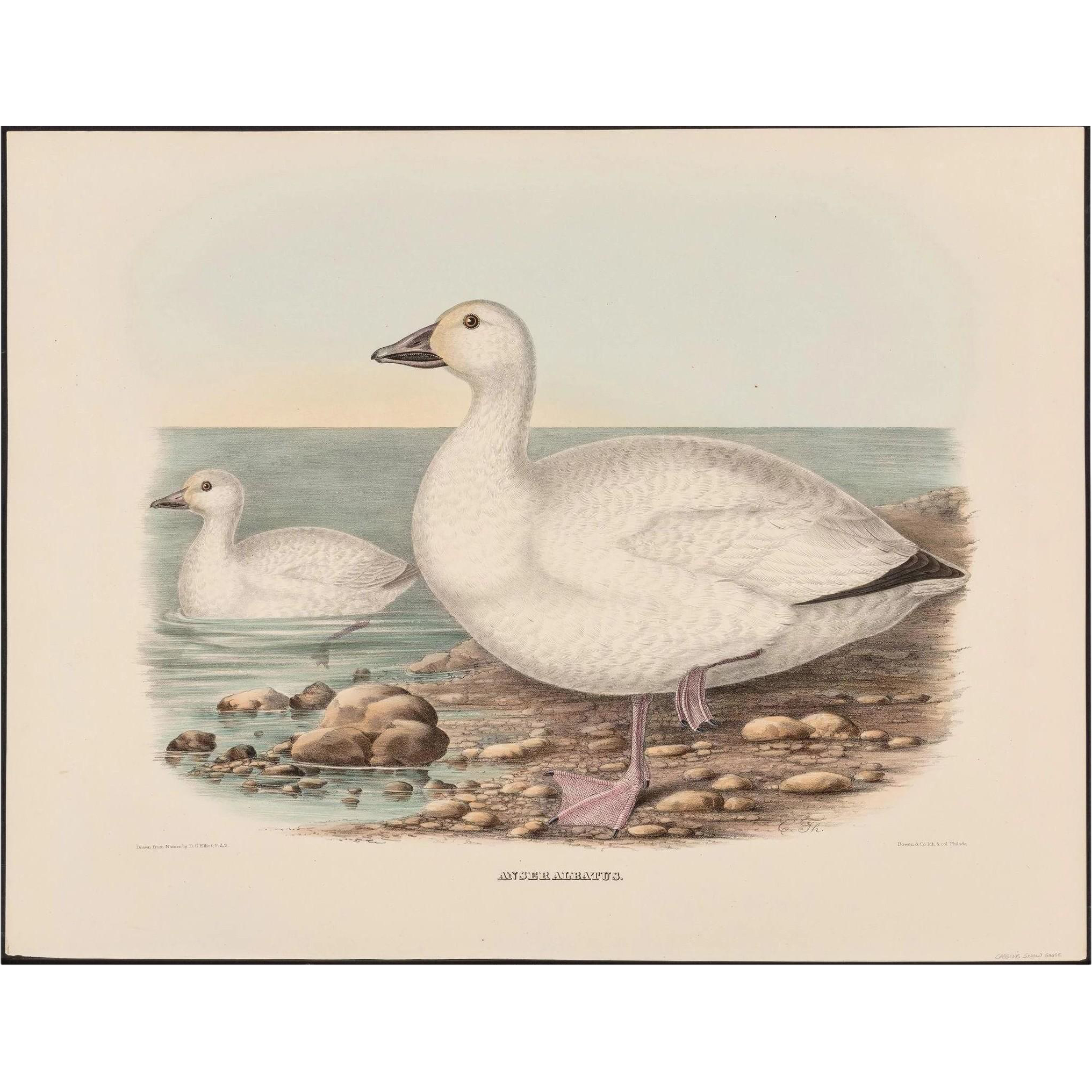 """DANIEL GIRARD ELLIOT (American, 1830-1907) - Antique Hand-Colored Lithograph """"Anser Albatus"""" from The New and Heretofore Unfigured Species of the Birds of North America Circa 1869"""