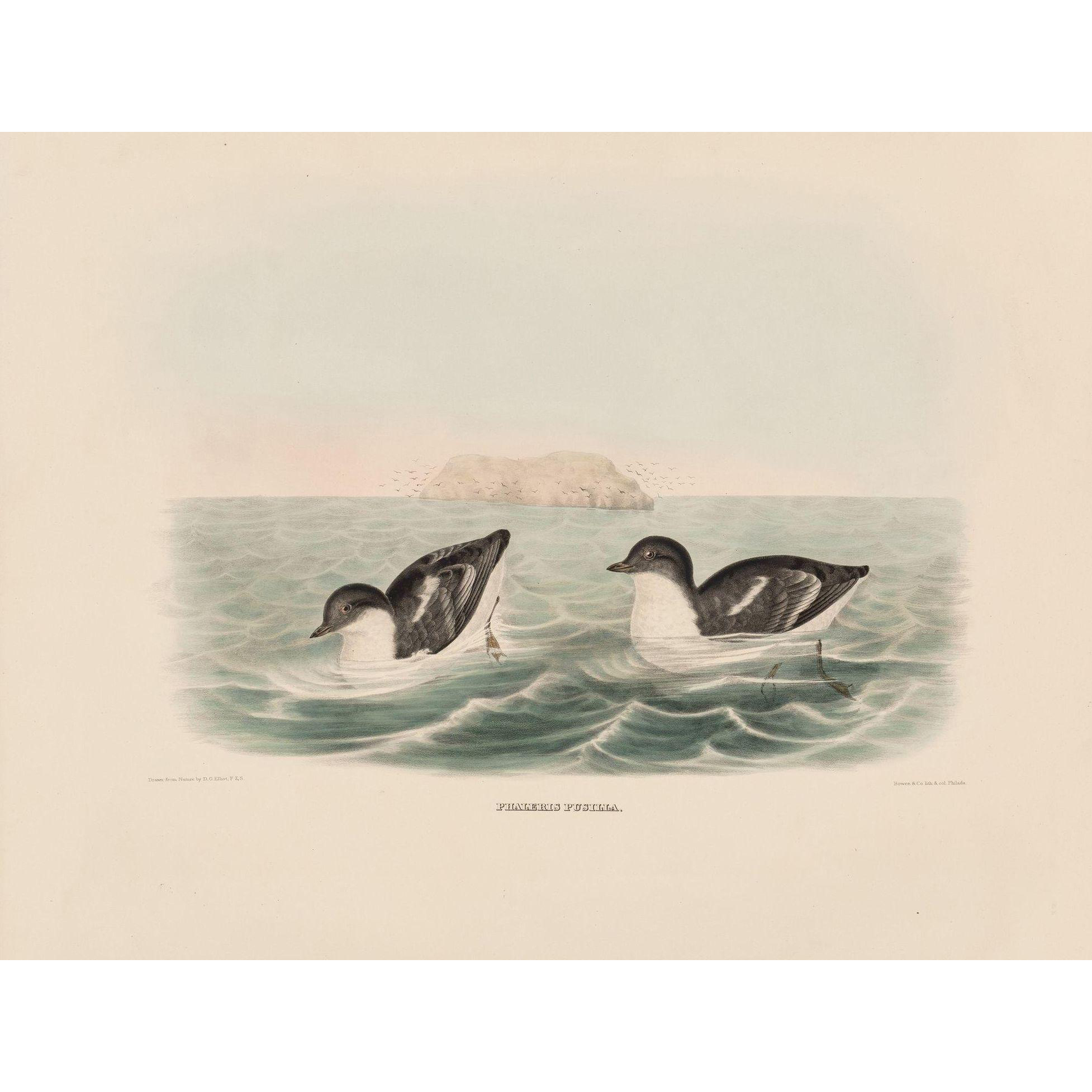 """DANIEL GIRARD ELLIOT (American, 1830-1907) - Antique Hand-Colored Lithograph """"Phaleris Pusilla"""" from The New and Heretofore Unfigured Species of the Birds of North America Circa 1869"""