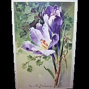 C.1960 CATHERINE KLEIN Postcard - Pale Lavender Crocus!