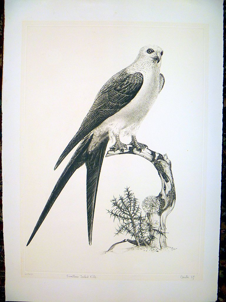 Swallow Tailed Kite by Jack Coutu