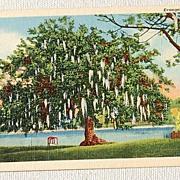 Vintage Postcard Evangeline Oak