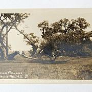 Vintage Evangeline Acadian Willows Post Card