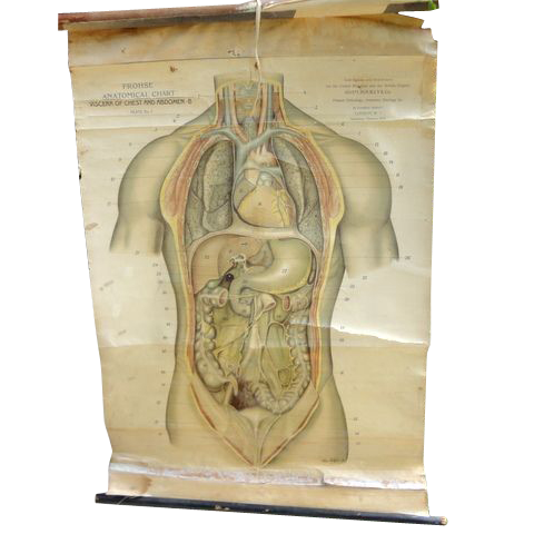 Vintage English Anatomical Medical Teaching Chart Viscera Of Chest & Abdomen