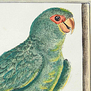 Hand Colored Etching Parakeet 19. Century