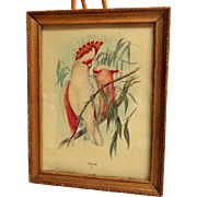 Framed JOHN GOULD Print by Sidney Z. Lucas.  Leadbeater's Cockatoo.  Circa 1930' - 1940's.