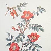 Botanical Wild Roses-Vintage Print