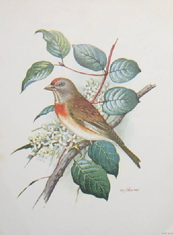 Bird Lithographs by Gonner