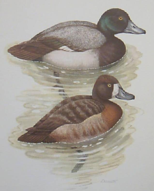 Bird Lithograph Ducks