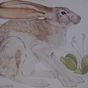 Black Tailed Jack Rabbit