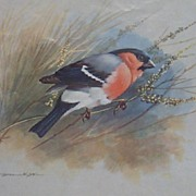Birds Basil Bullfinch