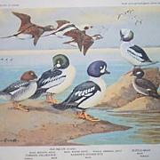 Bird Portrait Brooks Old Squaw Golden