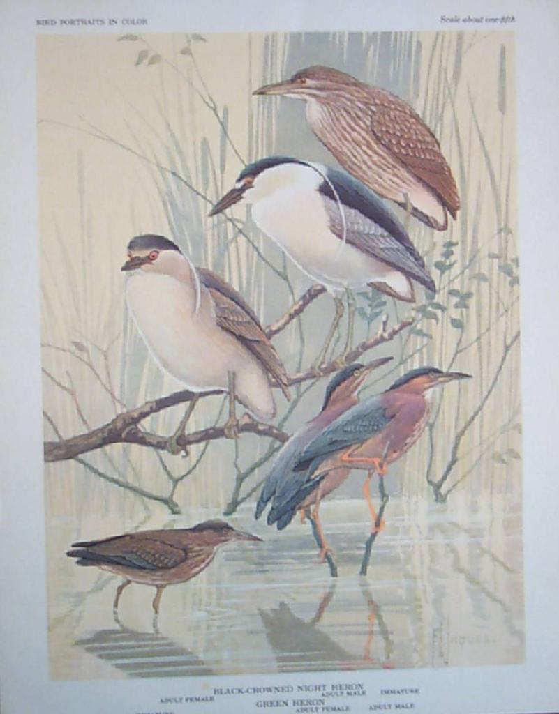Bird Portrait Jaques Herons