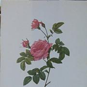Roses Portofolio (7) Lithographs Redoute/Prevost-Watercolor