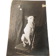 Real Photo post card with Pit Bull on chair