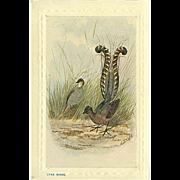 """Lyre Birds""  (1920')"