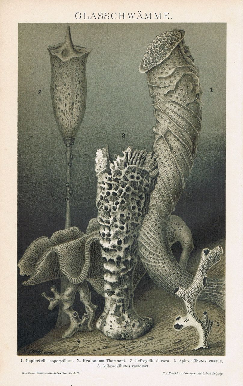 Glass Sponges. Decorative Chromo lithograph from 1898.