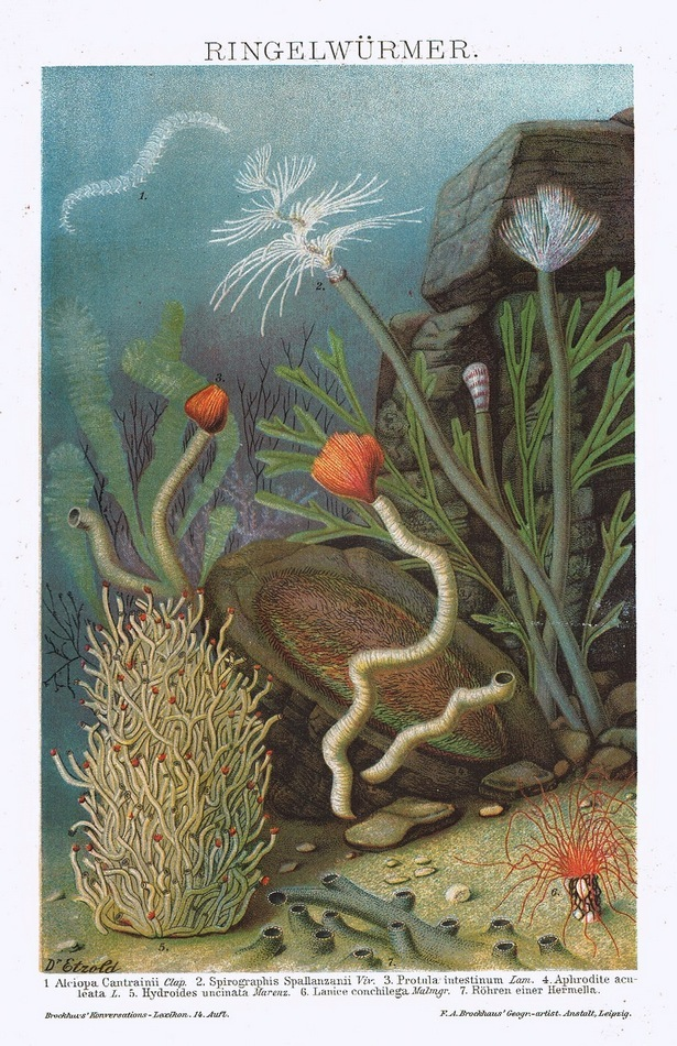 Bristle Worms: Antique Chromo Lithograph from 1899