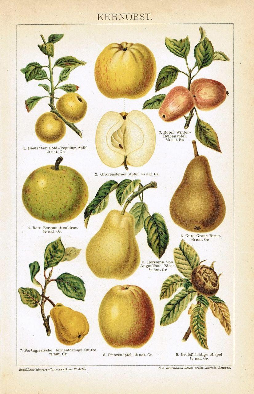 Pomaceous Fruit. Antique Chromo Lithograph 1899
