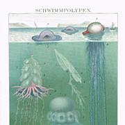 Swimming Polyps. Chromo Lithograph 1898