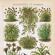 Grass-leaf Starwort. Antique Chromo Lithograph 1898