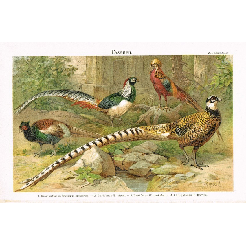 Pheasants: Decorative Chromo Lithograph from 1900