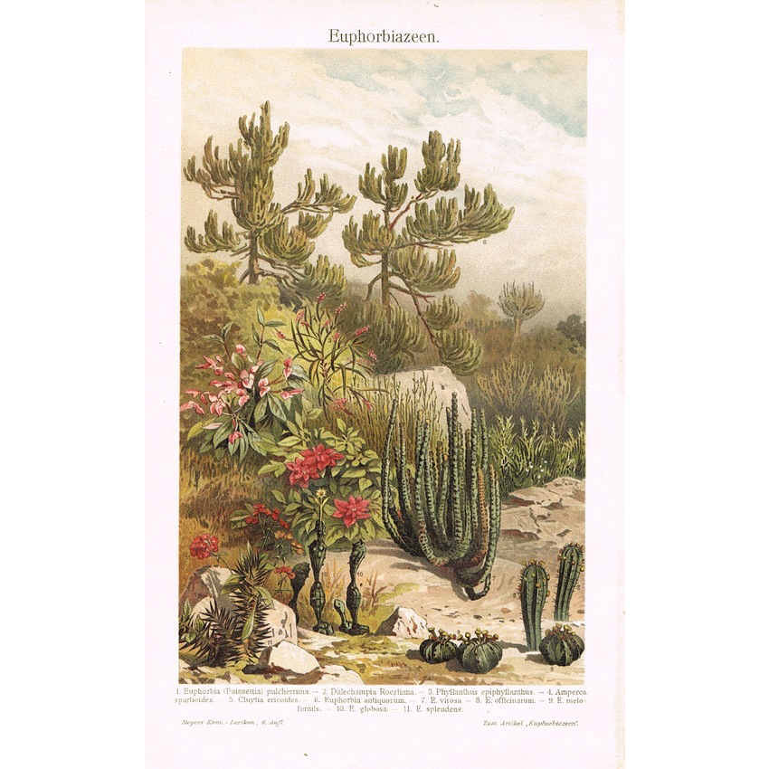 Desert Plant Chromo Lithograph from 1902