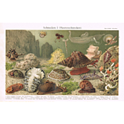 Snails: Antique Chromolithograph