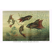 2 Antique Lithograph with Fishes
