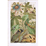 Foreign Cicadas: Very decorative Chromo Lithograph from 1898