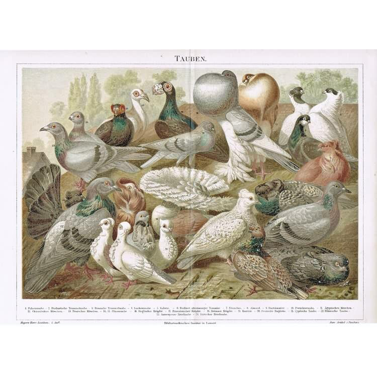 Pigeons: Antique Chromo Lithograph from, 1898