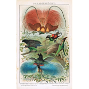 1898: Chromo lithograph of Birds of Paradise. Decorative!