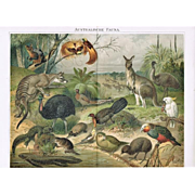 Australian Fauna: Outstanding Antique Lithograph. 17 Animals